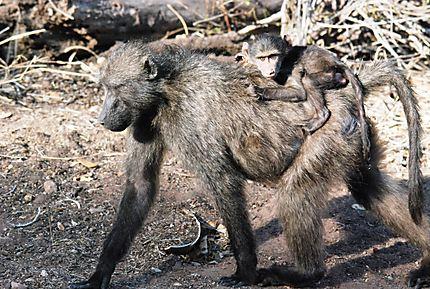 Maman babouin et son petit