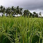 Les grains de riz