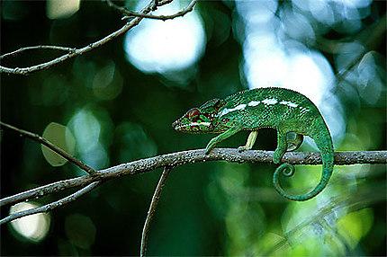 Le Paresseux Reptiles Animaux Cameleons Animaux Animaux