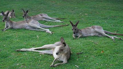 Sanctuaire des kangourous à Brisbane