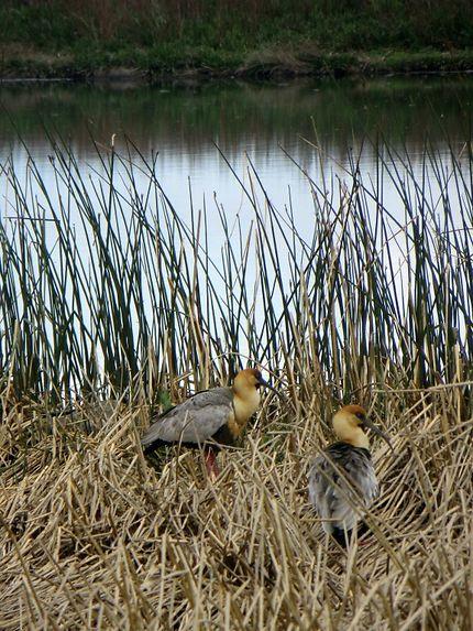 Ibis de la laguna Nimez