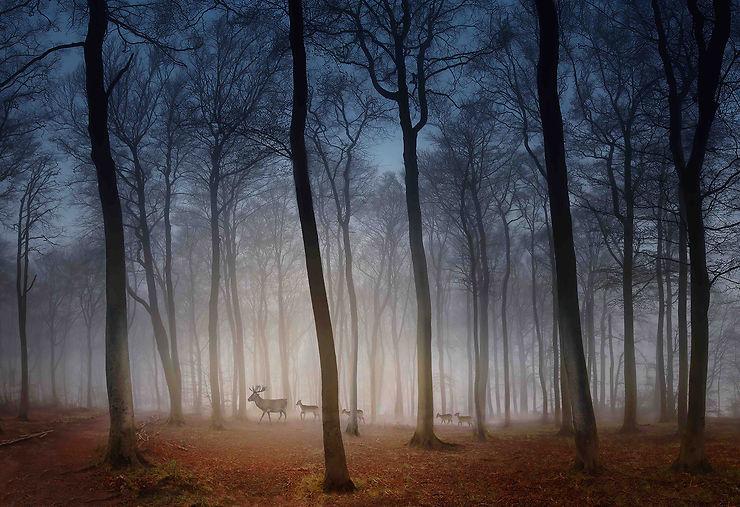 Cerfs dans la brume matinale, Hertfordshire