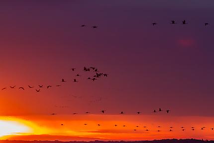 Envol des grues au lever du soleil