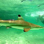 Au mileu des requins