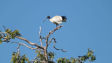 Un ibis sur une branche