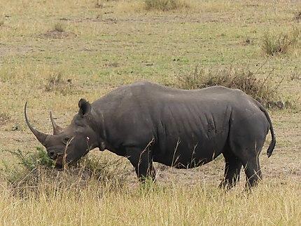 Rhinoceros pas loin de la rivière Mara