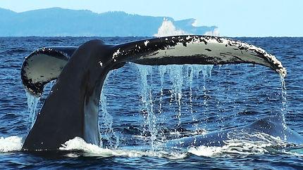 Baleine à Percé