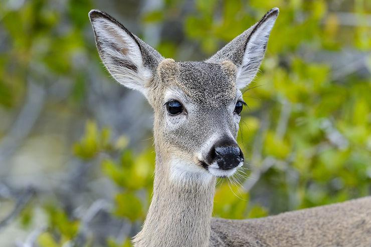 Escale à Key Deer