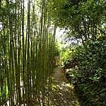 Allée de bambous