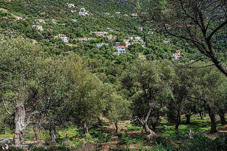 Les oliviers d'Anidri