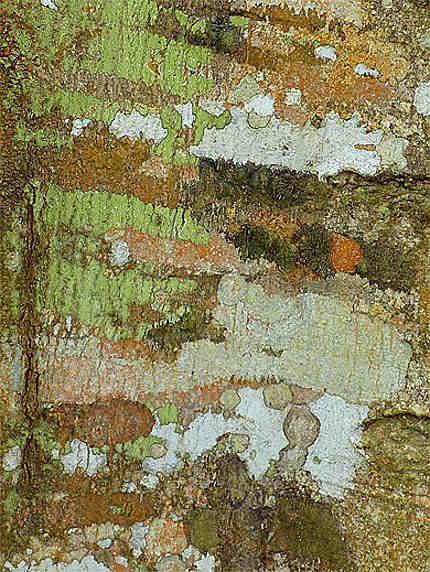 écorce d'un arbre du parc de Kakum