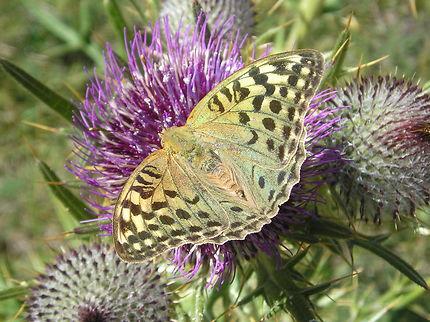 Papillon de la vallée d'Evol