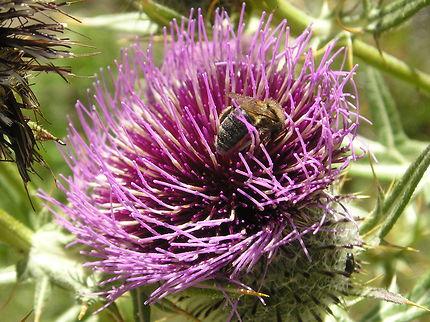 Les fleurs et les insectes de la vallée d'Evol