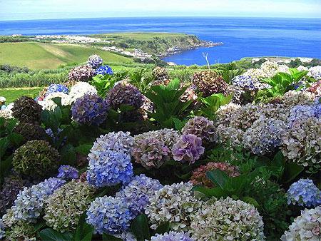 Hortensias fleurs s o miguel a ores - Quand couper les fleurs fanees des hortensias ...