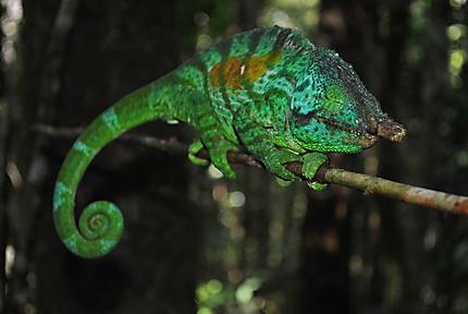 Caméléon parsemie mâle