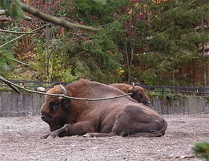 Bison d'Europe du Nord