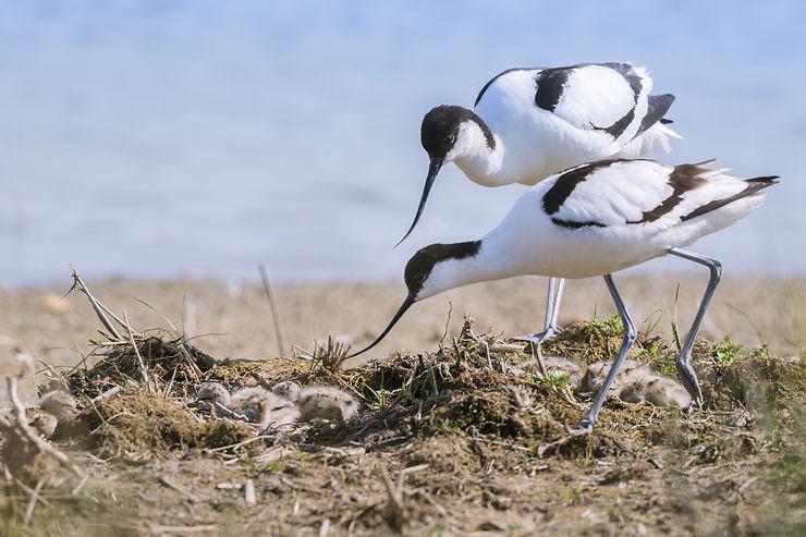 Les oiseaux de la baie de Somme - Somme