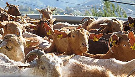 Chèvres brunes