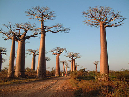 all e des baobabs morondava arbres all e des baobabs morondava tul ar toliara et sa. Black Bedroom Furniture Sets. Home Design Ideas