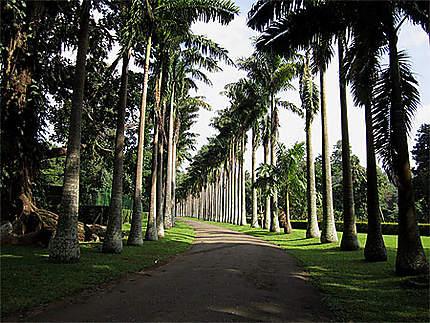 Allée de palmiers à Kandy