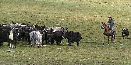 Troupeau de yacks dans la montagne kirghize