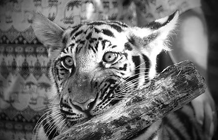 Un bébé tigre