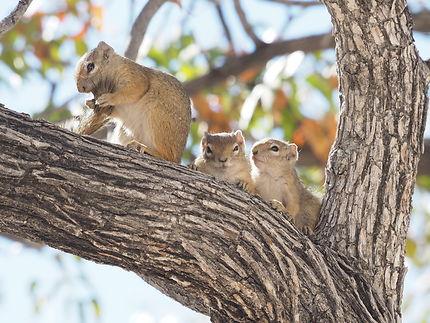 Ecureuils à Etosha