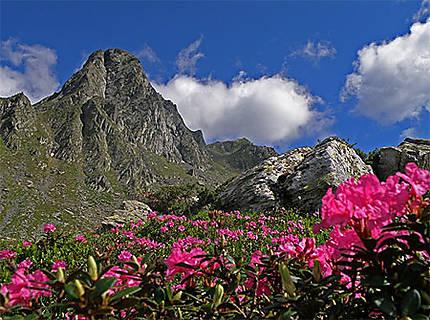 Rhododendron dans les montagnes de Fagaras