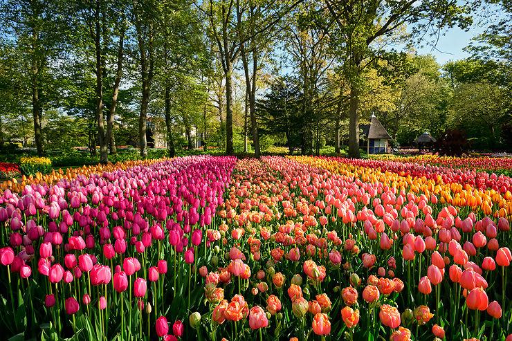La tulipe et les Pays-Bas : une histoire d'amour
