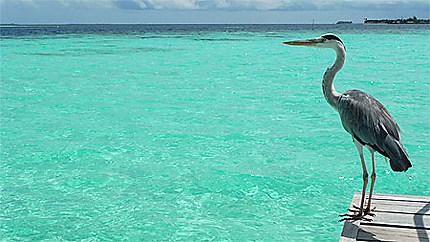 Héron Maldives