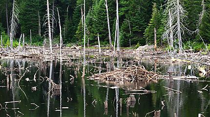 Habitat du castor saint alexis des monts mauricie for Castor habitat