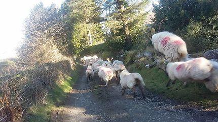 Saut de moutons le long de la Wicklow Way