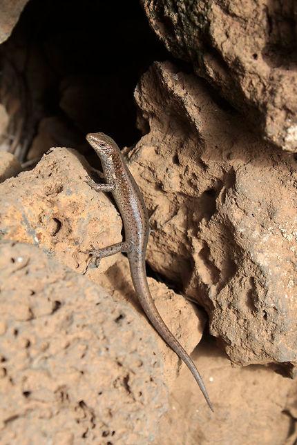 Lézard Reptiles Animaux Animaux île De São Nicolau Cap Vert Routard Com