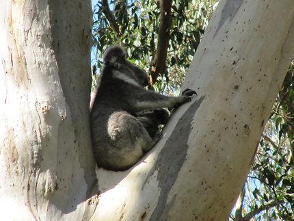 Bébé Koala et sa maman Great Otway National Park