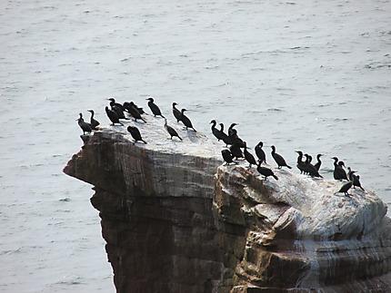 Cormorans aux Îles de la Madeleine