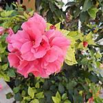 Hibiscus fleur double - Santa Cruz