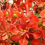Flamboyants - Puerto Ayora