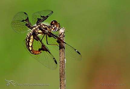 Odonata - Palpopleura vestita femelle