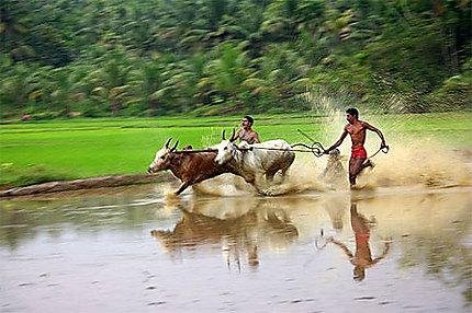 Course de taureaux