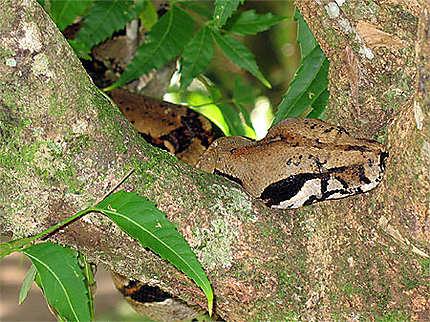 Boa constrictor en pleine sieste