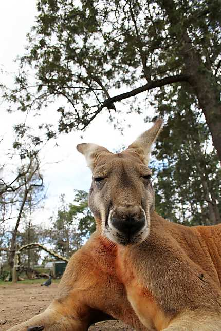 Grand kangourou rouge