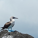 Fou aux pattes bleues (blue footed boobies)