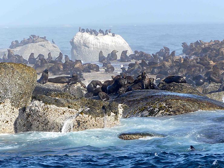 Colonie de Phoques à fourrure à Duiker Island, Afrique du Sud