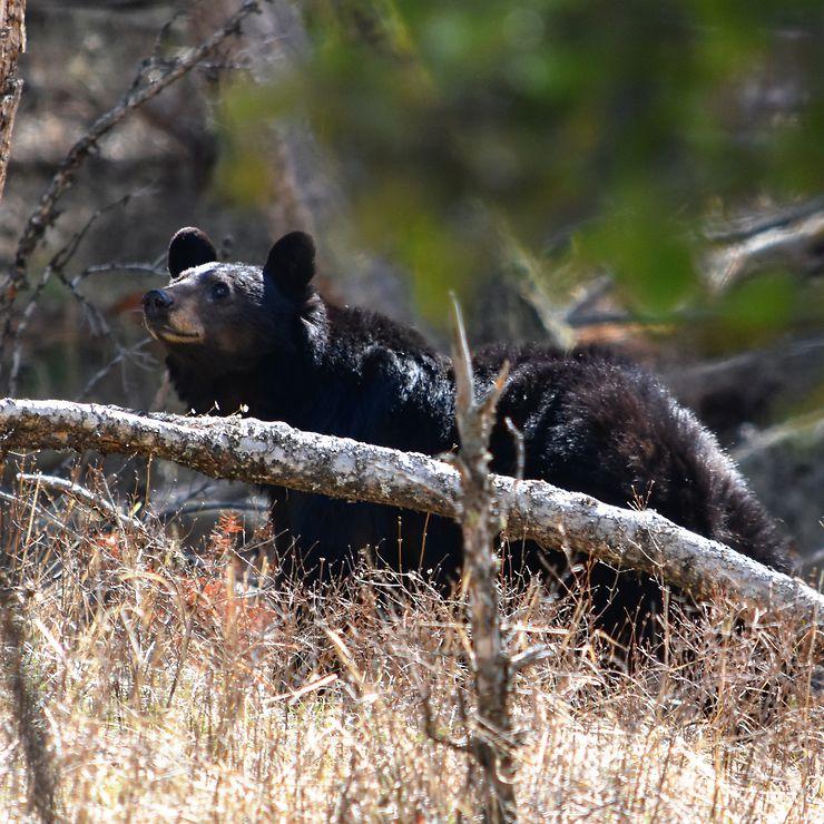 Ours brun à Yellowstone, États-Unis