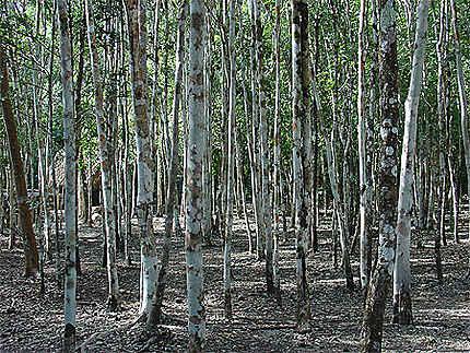 Forêt avant Coba