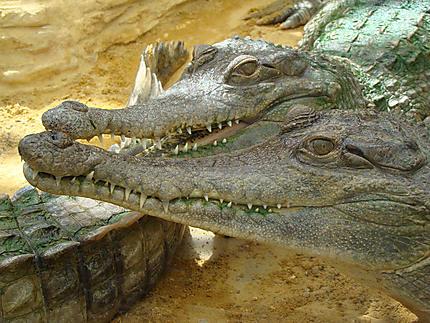 Crocodiles gavial à la ferme aux crocodiles
