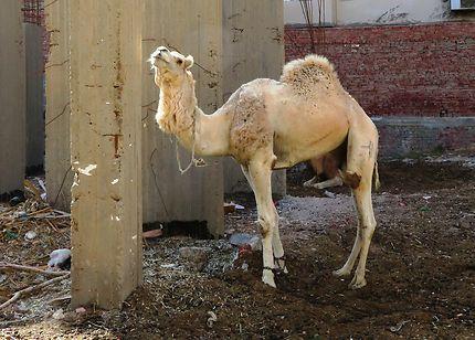 Un dromadaire dans la ville, Hurghada