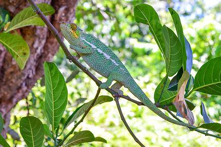 Furcifer pardalis caméléon panthère male