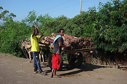 Transport de tronc d'ensète