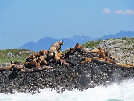 Lions de mer sur l'île de Vancouver